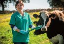 Certificado oficial para el bienestar animal de las principales producciones ganaderas de CovapUna técnico en ganadería de vacuno de Covap.