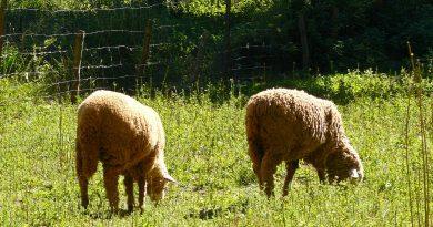 La Junta permitirá el pastoreo en superficie de barbecho de interés ecológico para el Pago Verde de la PAC en 2019