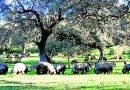 El aumento de los casos de seca de encina en Los Pedroches alarma al sector del cerdo ibérico