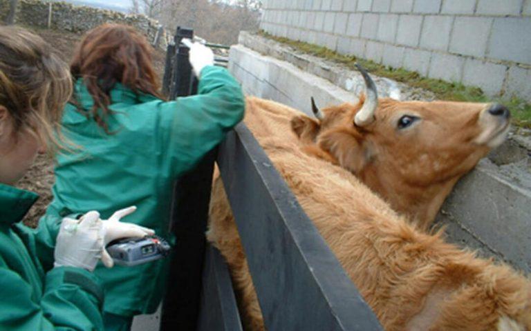 El Ministerio quiere cambiar las pruebas de la tuberculosis bovina pero el sector teme que no acabe con los falsos positivos