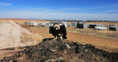 Agentes de Medio Ambiente de la Junta rescatan un águila imperial enHinojosa del Duque